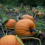 Its Halloween fun to come pick a pumpkin right off the vine at this west michgan farm