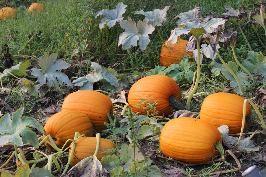 Pumpkin picking in all sizes